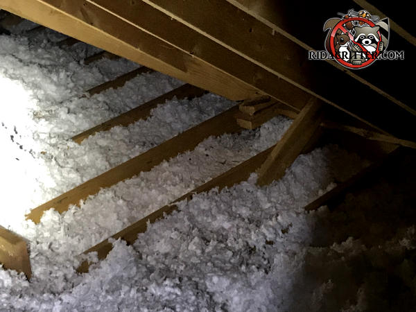 The insulation in the attic of a house in Red Bank Tennessee is flattened out and has squirrel trails running through it