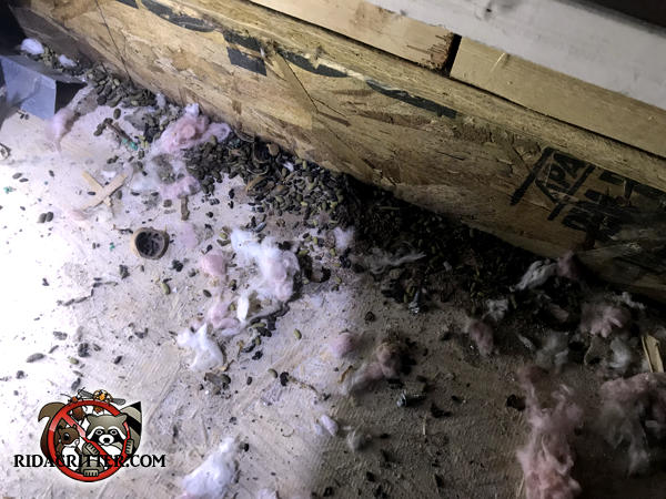 Pile of squirrel droppings on the floor of an attic of a house in Berkeley Lake Georgia