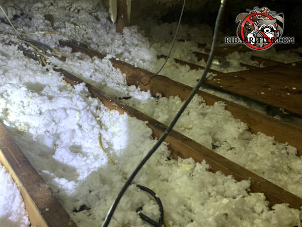 Squirrel burrows and droppings in the insulation in the attic of a house in Monroe Georgia