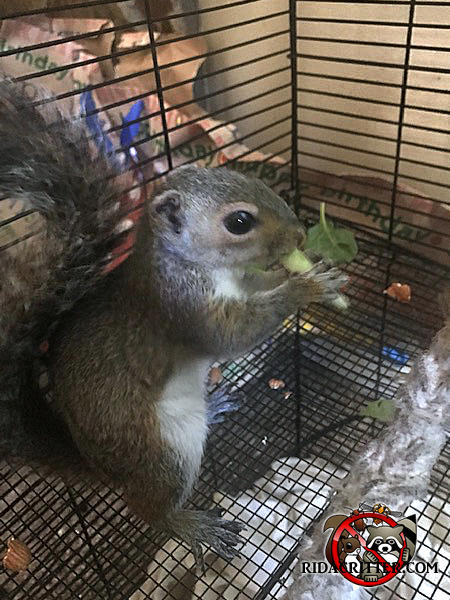 Orphaned young squirrel in a cage on its hind legs eating celery after being removed from a house in Atlanta