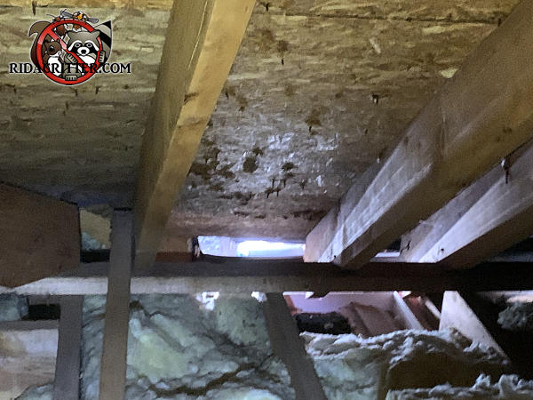 Sunshine coming into the attic through a several foot gap in the eaves reveals how squirrels got into the attic of a Smyrna Georgia home.