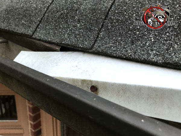 Piece of flashing that detached from a house in Braselton Georgia allowed squirrels to get in from behind the flashing