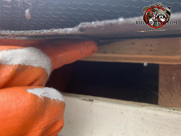 Shingle lifted by the gloved hand of a technician reveals a two inch gap under the roof sheathing that allowed squirrels into the attic of a Cumming Georgia home