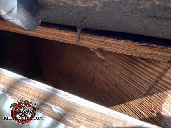 Tapered gap in the edge of the roof sheathing about three inches on the wide side allowed squirrels into an Atlanta home