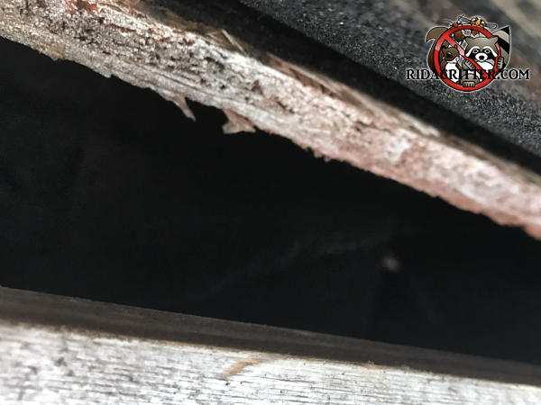Gap of a bit over two inches between the roof sheathing and fascia allowed squirrels into the attic of a house in Jasper Tennessee