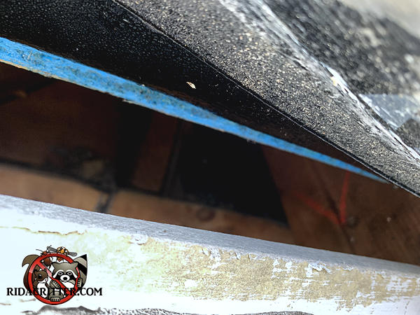 Three inch gap between the roof sheathing and fascia allowed gray squirrels to easily get into the attic of a house in Marietta Georgia.