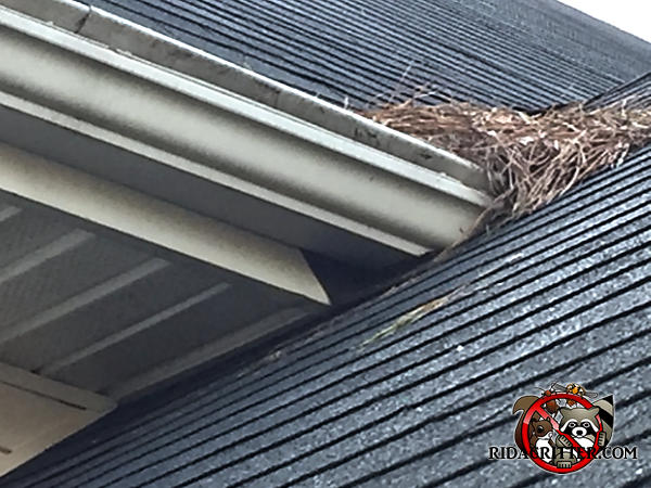 Triangular gap in the soffit fascia next to the shingles at a roof junction allowed squirrels into the attic of a house in McDonough Georgia
