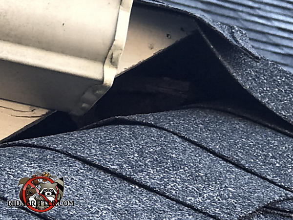 There is a gap under the shingles near the rain gutter that allowed squirrels to get into the attic of a house in Grayson georgia