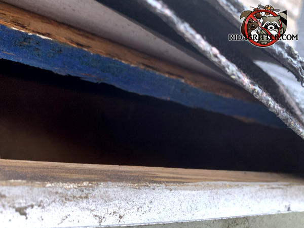 Tapered gap along the edge of the roof needs to be closed up to exclude squirrels from the attic of a Stone Mountain Georgia home.