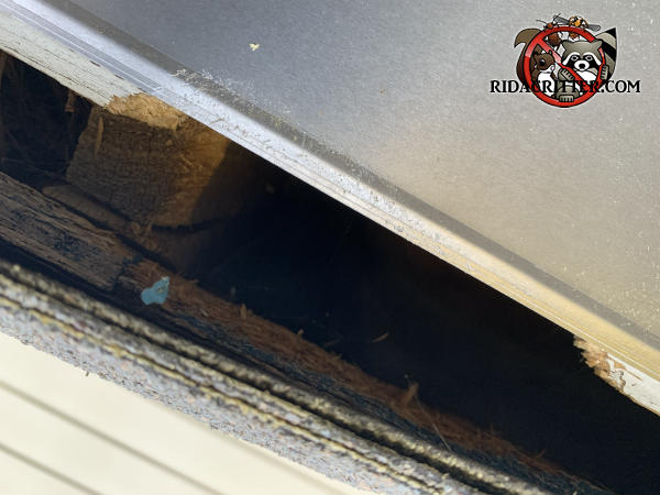 Roughly three inch gap between the roof sheathing and fascia allowed gray squirrels to get into the attic of a house in Sugar Hill Georgia