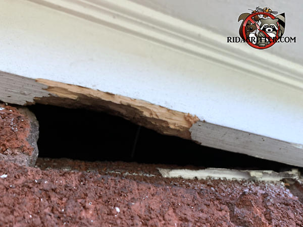 Squirrels gnawed through the bottom edge of the wooden frieze board over a gap in the bricks to get into a house in Atlanta.