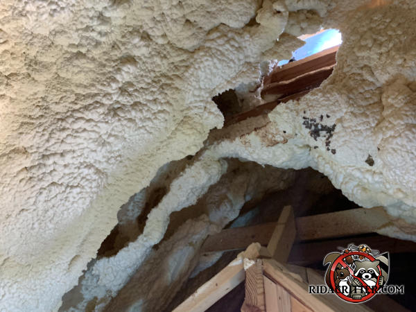 Squirrels hole through sprayed on foam insulation reveals the sky through a hole in the roof of a house in Americus Georgia