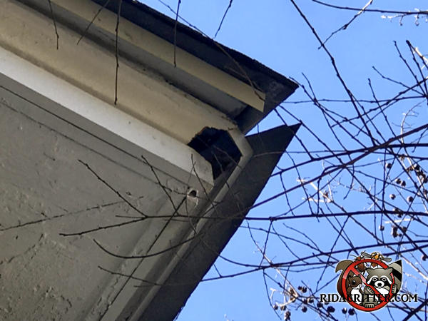 Squirrel hole chewed through the corner of the soffit of a house in Atlanta