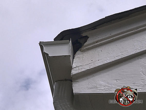 Squirrel hole in the wooden trim behind the rain gutter of a house in Atlanta