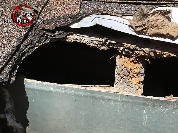 Squirrels gnawed through the roof sheathing fascia and shingles to get into the attic of a house in Atlanta