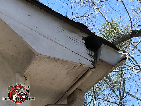 Baseball sized hole that a squirrel chewed through the wooden end of the soffit near the rain gutter to get into the attic of a house in Atlanta.