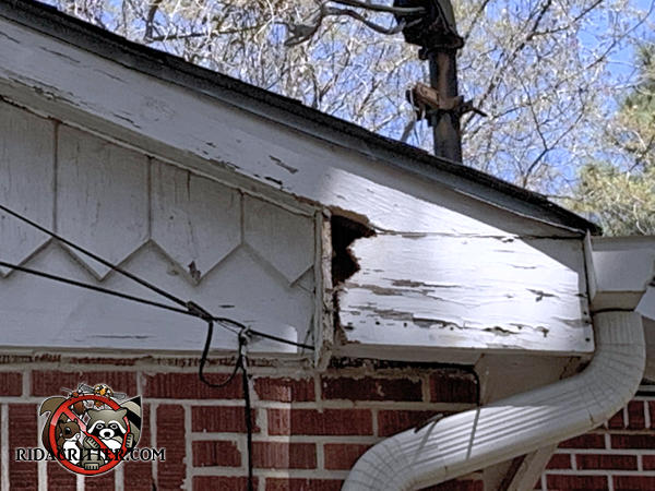 Squirrels chewed a hole through the end of the wooden soffit of a house in Atlanta