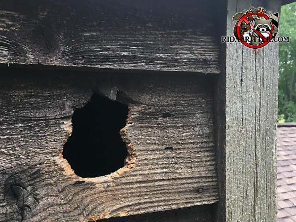 Fist sized squirrel hole of a vertical figure eight shape gnawed through the rough sawed wooden siding of a house in Signal Mountain Tennessee