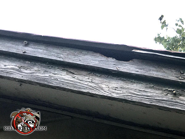 Squirrel hole in the roof trim right under the shingles at a house in Colbert, Georgia