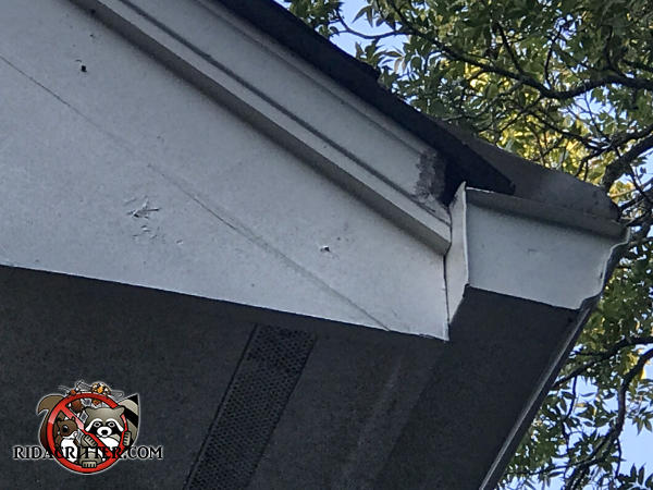 Squirrel chew hole in the soffit trim behind the rain gutter of a house in Conyers Georgia