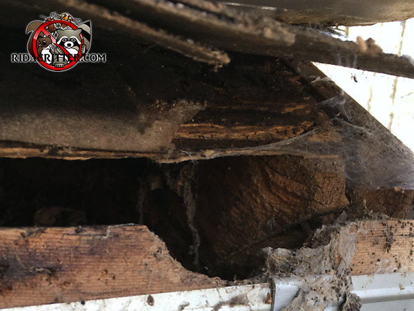 Squirrel hole gnawed through the wooden fascia and roof sheathing of a house in Dunwoody Georgia
