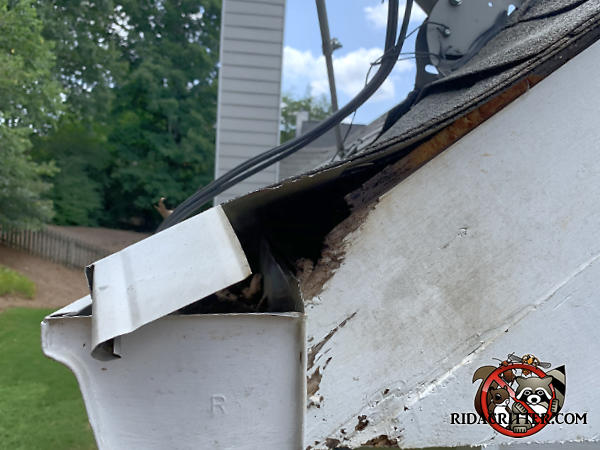 Squirrel hole through the top edge of the roof trim right behind the rain gutter and under the shingles of a house in Lawrenceville Georgia.