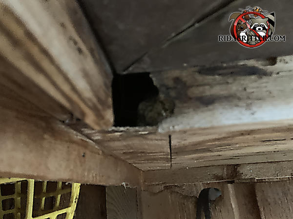 Squirrel made a hole through the water damaged soffit and into a house in Macon Georgia