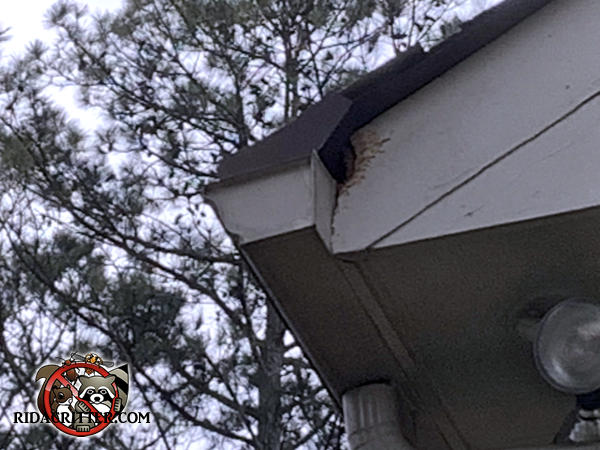 Fresh squirrel chew hole on the end of the soffit behind the rain gutter of a house in Marietta Georgia