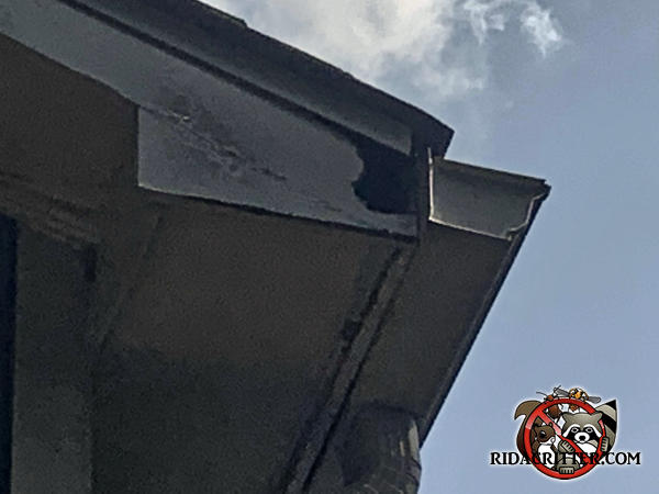 Squirrel chewed a hole through the end of the roof near the rain gutter of a house in Marietta Georgia