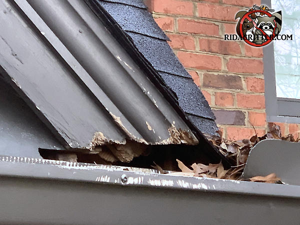 Squirrels gnawed at the wooden roof trim and the metal rain gutter of a house in Marietta Georgia