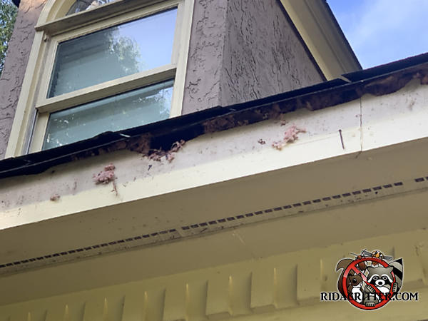 Three squirrel chew holes with insulation coming out of them in the fascia on the soffit of a house in Newnan Georgia