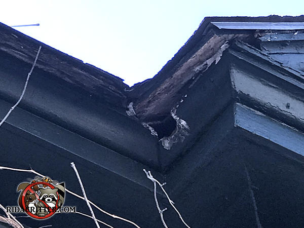 Squirrel chewed a hole through the wooden crown molding on the roof of a house in Newnan Georgia