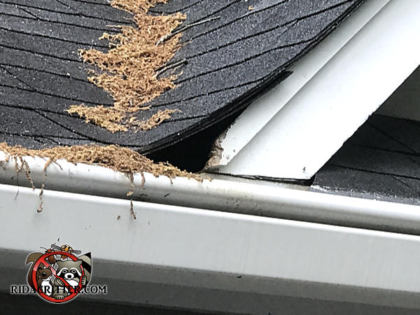 Squirrel chew  ole through the wooden roof trim at a gap under the shingles at a roof junction on a house in Peachtree City Georgia