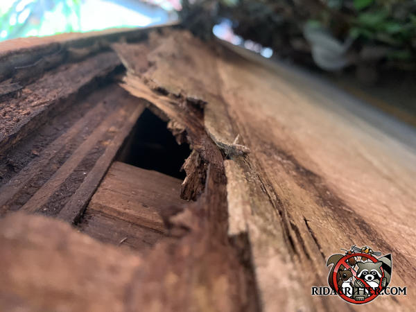 Semicircular squirrel hole several inches across gnawed through the roof sheathing and into the attic of a house in Alpharetta Georgia