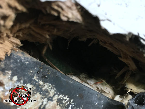 Dome shaped hole about the size of a fist gnawed through the wooden roof fascia and into the attic of a house in Canton Georgia.