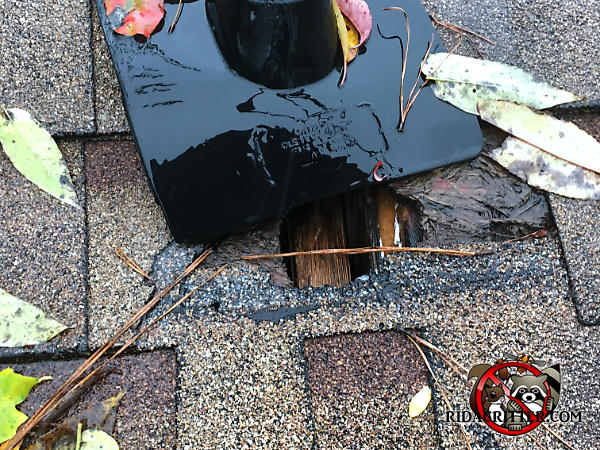 Squirrel hole gnawed through the roof shingles of a house in Harrison Tennessee allowed water to get through and damage the wooden timbers