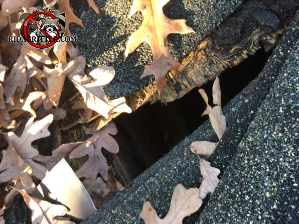 Squirrel hole through the shingles and roof sheathing and into the attic of a house in Dallas Georgia