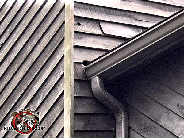 Squirrel gnawed a hole through the wooden siding near the end of the rain gutter of a house in Atlanta