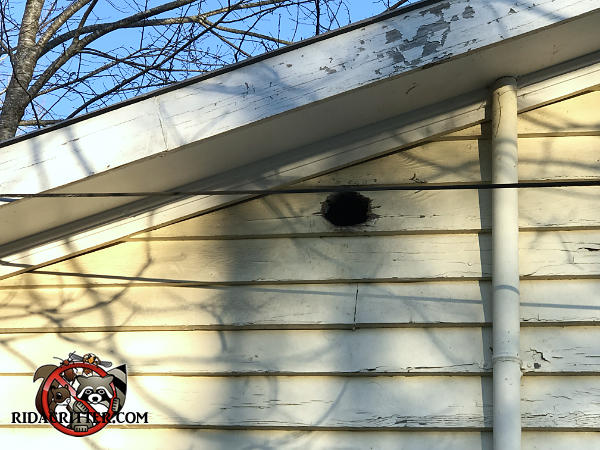 Baseball sized hole that squirrels gnawed through the wooden siding to get into a house in Lula Georgia.