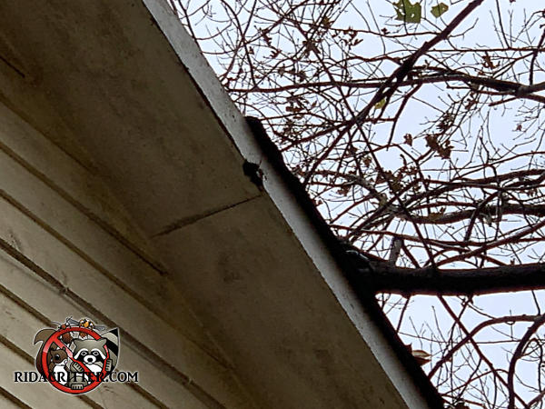 Squirrel gnawed through the wooden fascia and into the soffit of a house in Signal Mountain Tennessee