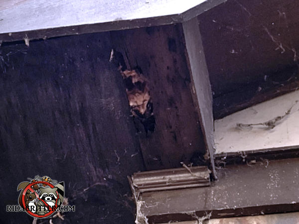 Squirrel hole between two sections of a wooden soffit panel at a house in Smyrna Georgia