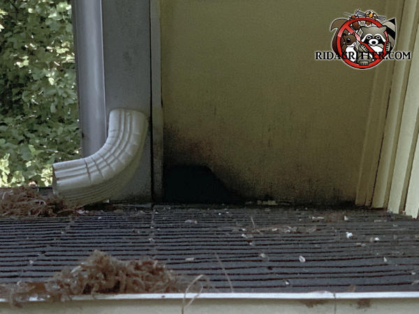 Squirrel gnawed a baseball sized hole through the corner of a plywood soffit panel behind the rain gutter at a roof junction on a house in Jonesboro Georgia