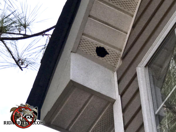 Squirrel gnawed a hole through a metal soffit panel on a house in Newnan Georgia
