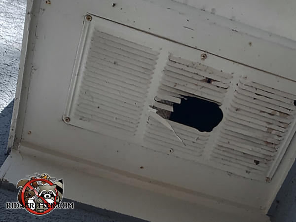 Squirrel gnawed a hole through the middle of a metal soffit vent on a house in North Georgia