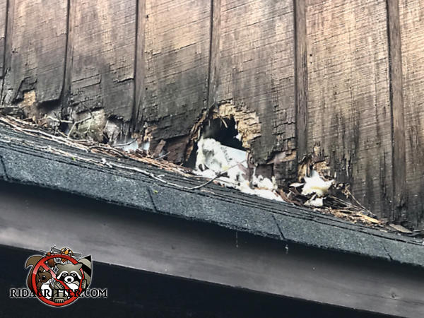 Squirrels chewed a hole through the wooden siding and into a house in Stone Mountain Georgia