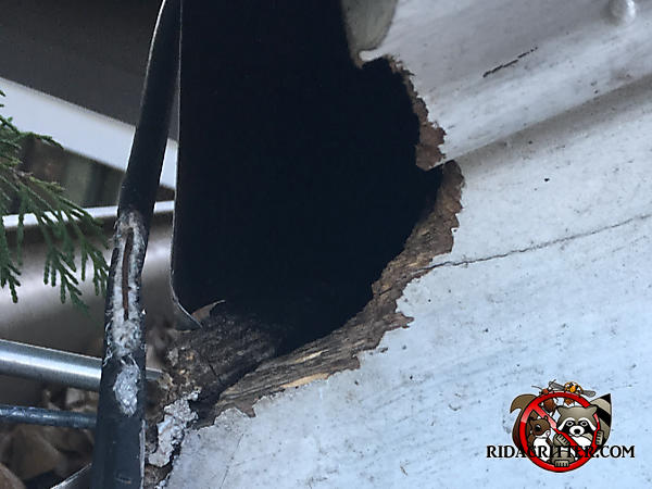 Squirrel hole gnawed through the end of a wooden soffit and trim of a house in east Brainerd Tennessee