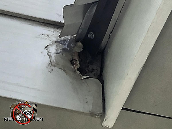 Squirrel gnawed a jagged baseball sized hole right through the aluminum siding to get into a house in Villa Rica Georgia