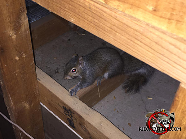 Young gray squirrel standing on a joist in the attic of a house in Hoover Alabama