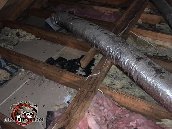 Insulation is torn up and there are droppings and urine everywhere due to squirrels who got into the attic of a house in Macon Georgia