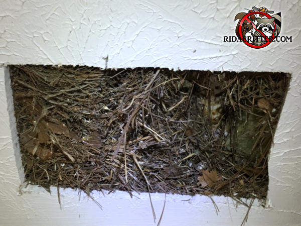 Rectangular section of sheet rock was cut out to reveal a squirrel nest made of twigs in the ceiling void of a house in Atlanta